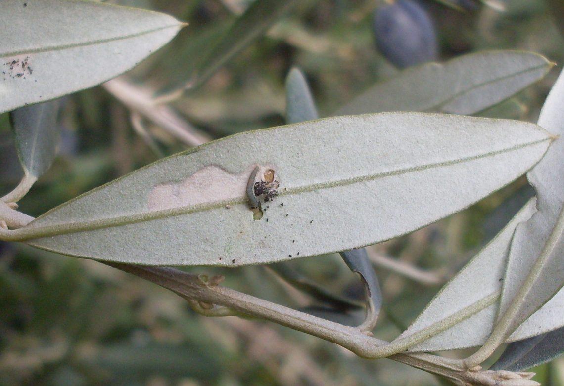 Protege tu olivar frente a la polilla del olivo