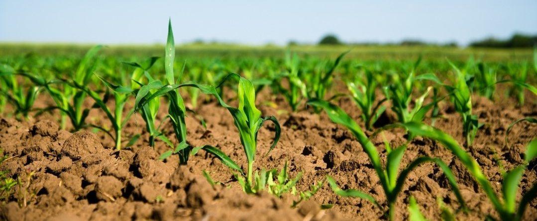 Malas hierbas en maíz: por qué tratar en pre-emergencia