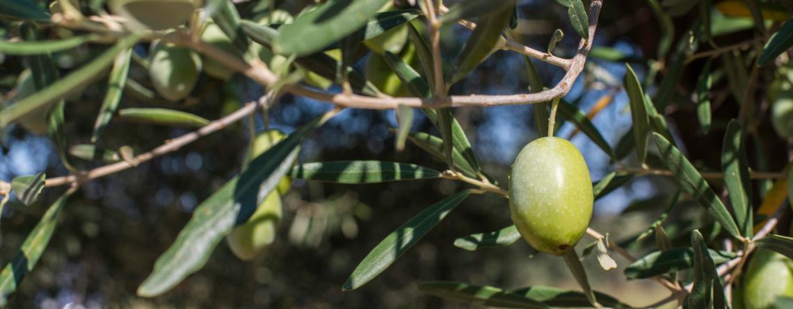 ¿Qué es el Gracejo o Zofairón de la aceituna?