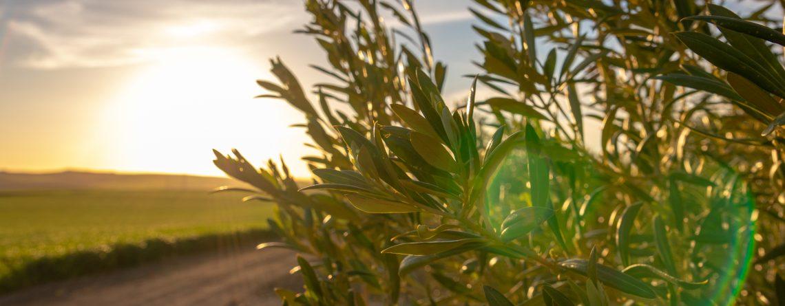 ¿Cómo ahorrar en los tratamientos frente a enfermedades en olivar?